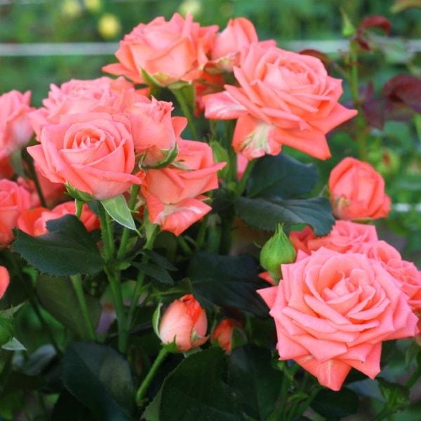Где в пензе купить розы для посадки доставка цветов по городу смоленску