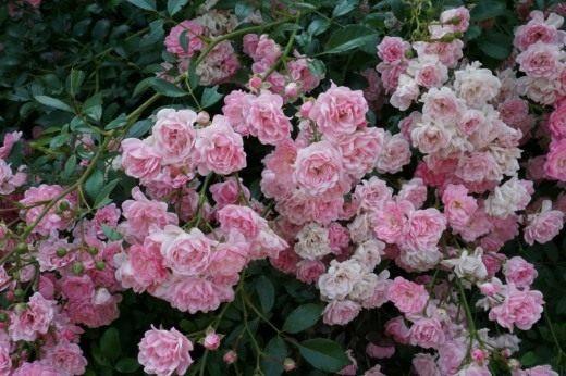 Розы почвопокровные Фейри / The Fairy