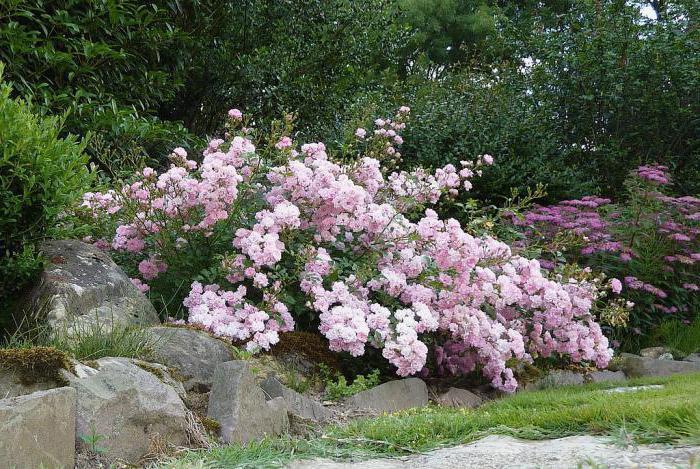 Розы почвопокровные Фейри