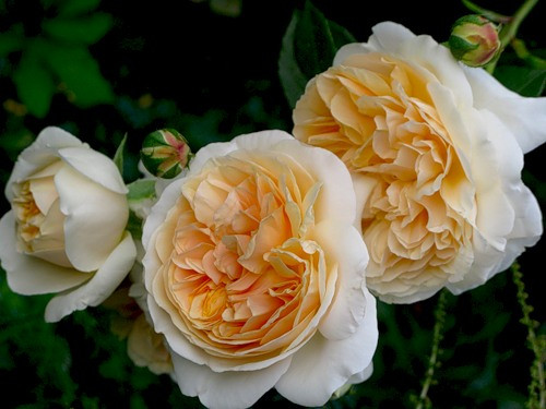 Розы Чарльз Дарвин / Charles Darwin