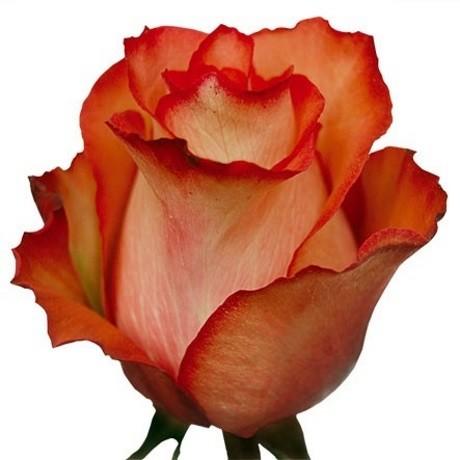Роза сорта Игуана (Iguana)