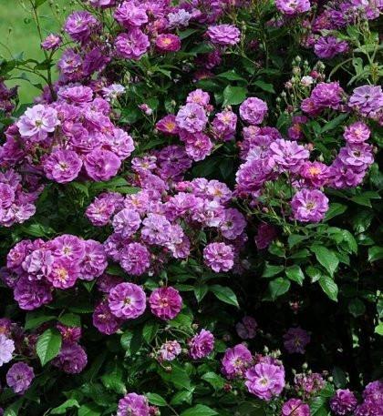 Пепл Скайлайн / Purple Skyliner