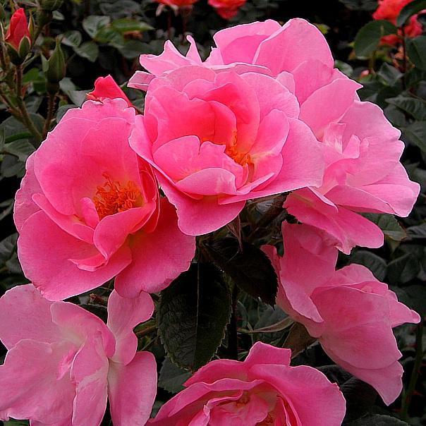 Пинк Робуста / Pink Robusta (KORpinrob, The Seckford Rose, Goteborg)