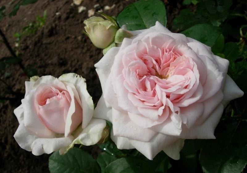Клер Роуз (Высота штамба 90 см)