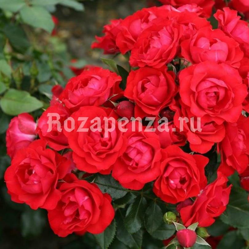 Блек Форест Роуз (Высота штамба 130-140 см)