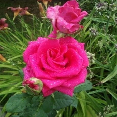 Роза Салмат (Salmat)