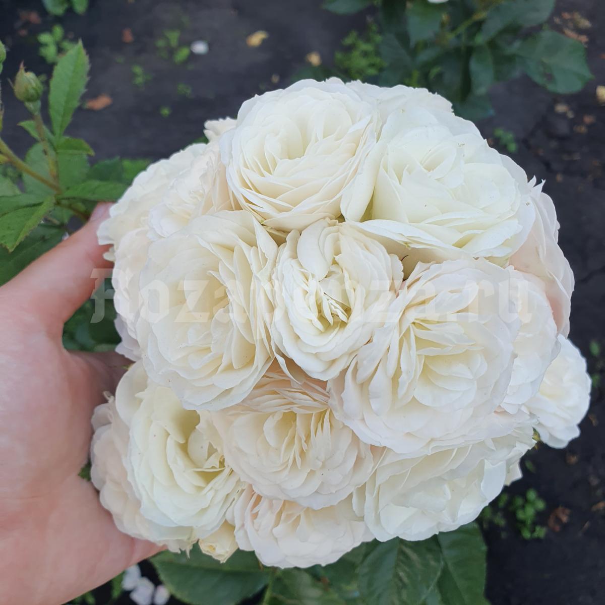 Букет Парфэ ( Bouquet Parfait )