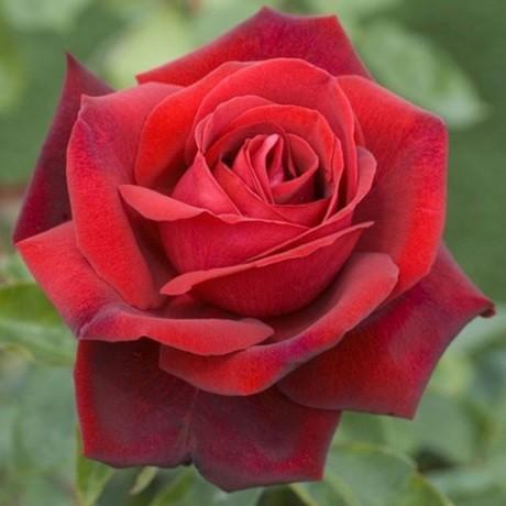 Роза Эдит Пиаф