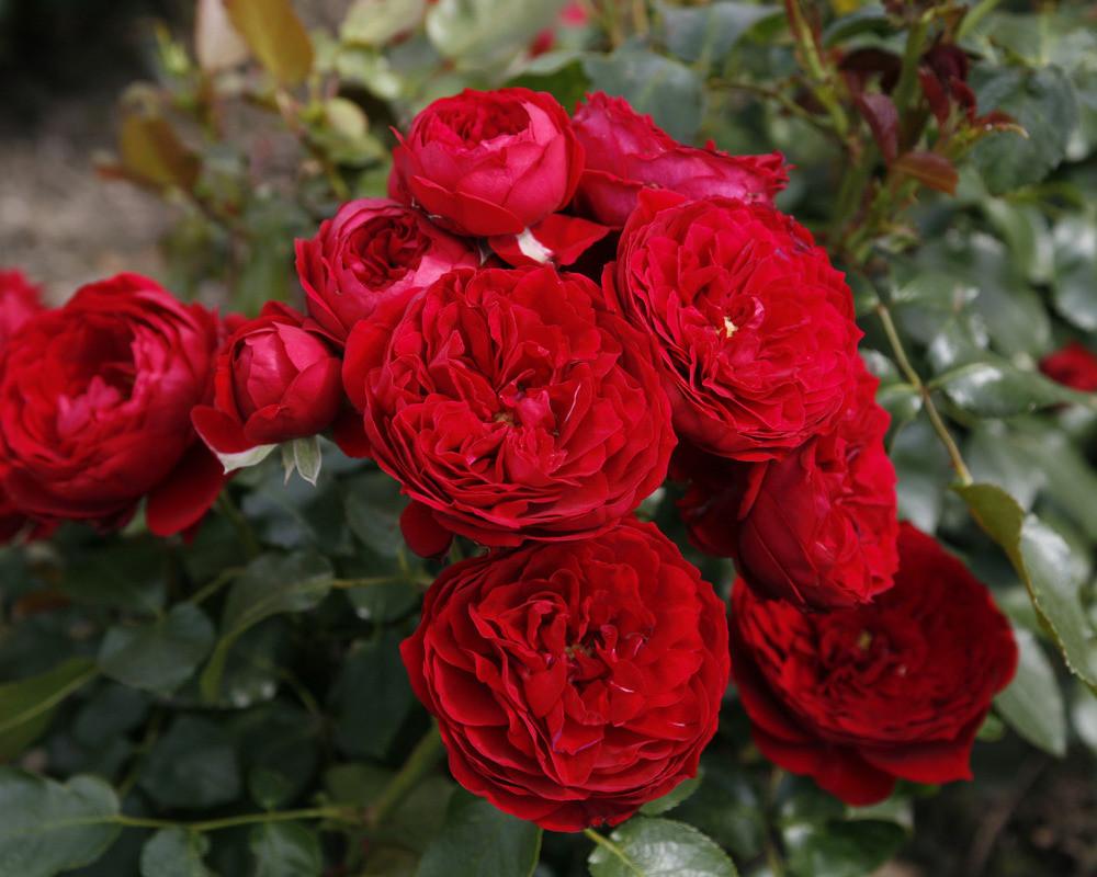 Голден Бордер+Красная Шапочка (Высота штамба 120 см)