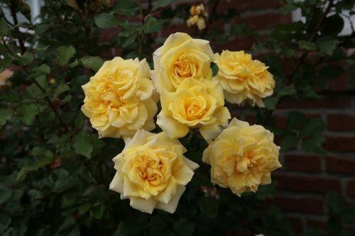 Розы почвопокровные Зоненшерм ( Sonnensсhirm )