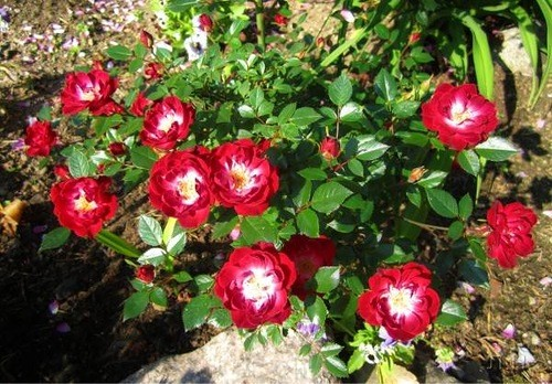 АЛЬБЕРИХ ( Alberich )  (Ландшафтная роза темно-малиновая (самшитовая))