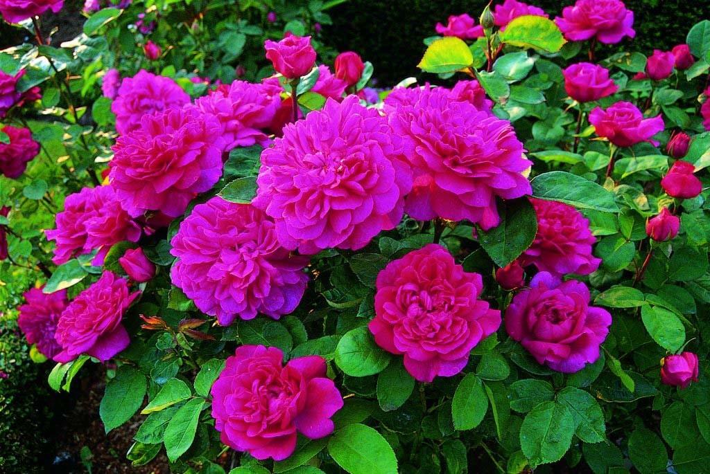 Софи Роуз (Высота штамба 70-90 см)