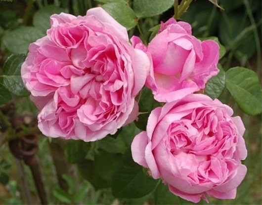 Мэри Роуз / Mary Rose