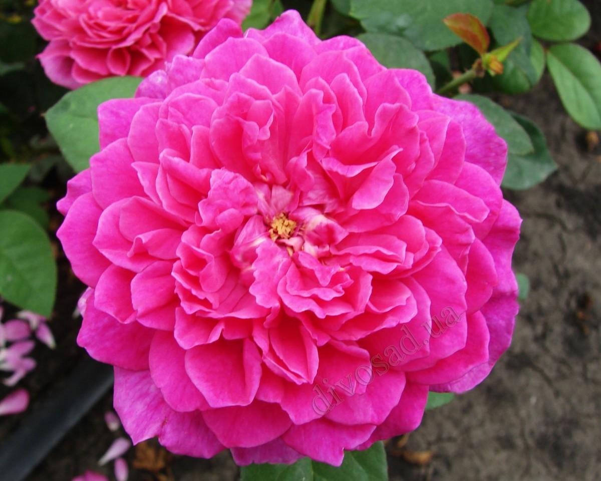 Софи Роуз / Sophy's Rose