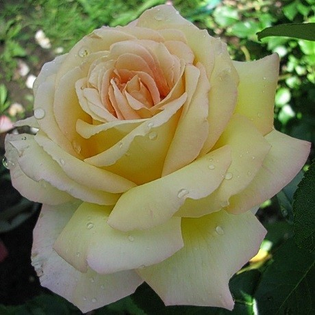 Розы Азафран