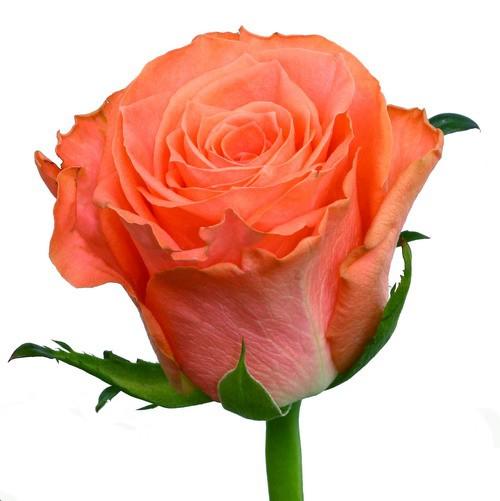 Роза Амстердам