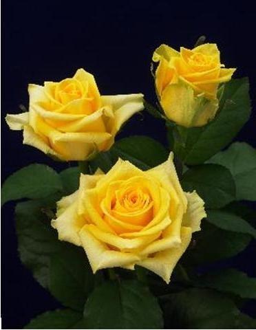 Розы чайно-гибридные Хаммер