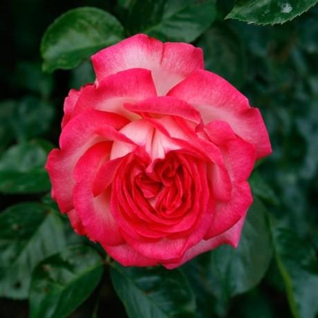 Роза Антике