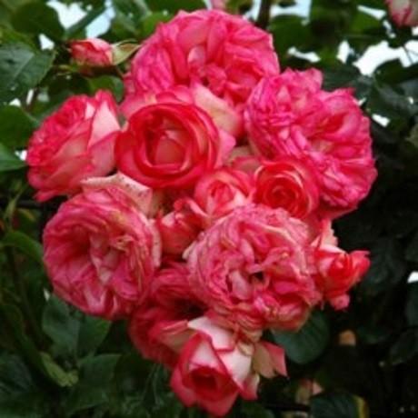 Букет из роз Антике
