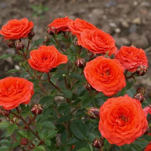 Оранж Джувел ( Orange Juwel )
