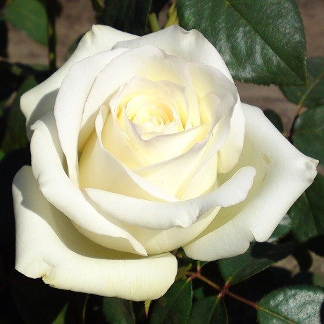 Розы Анастасия