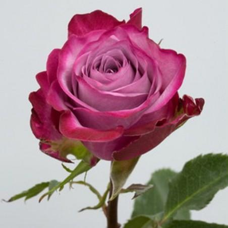 Розы чайно-гибридные Дип Перпл ( Deep Purple )
