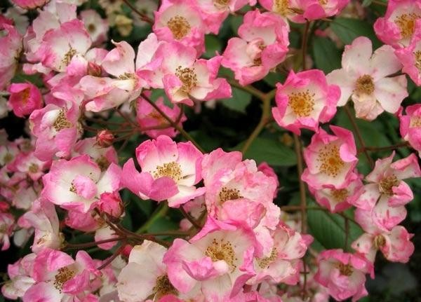 Розы почвопокровные Баллерина ( Ballerina )