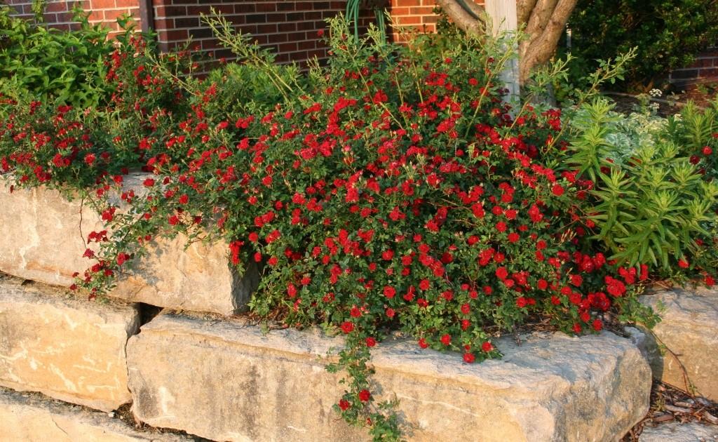 Розы почвопокровные Ред Каскад ( Red Cascade )