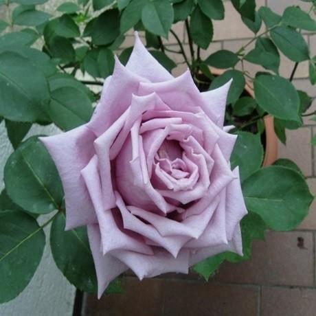 Розы Блю Берд
