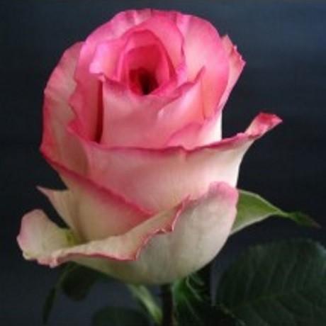 Розы Белла Вита