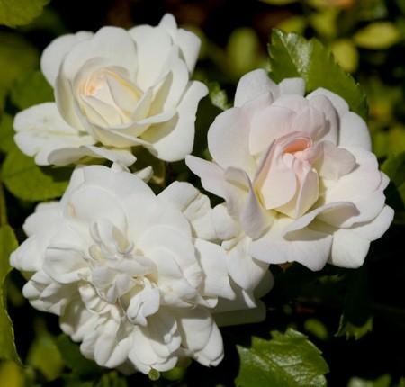 Розы почвопокровные Айси Дрифт ( Icy Drift )