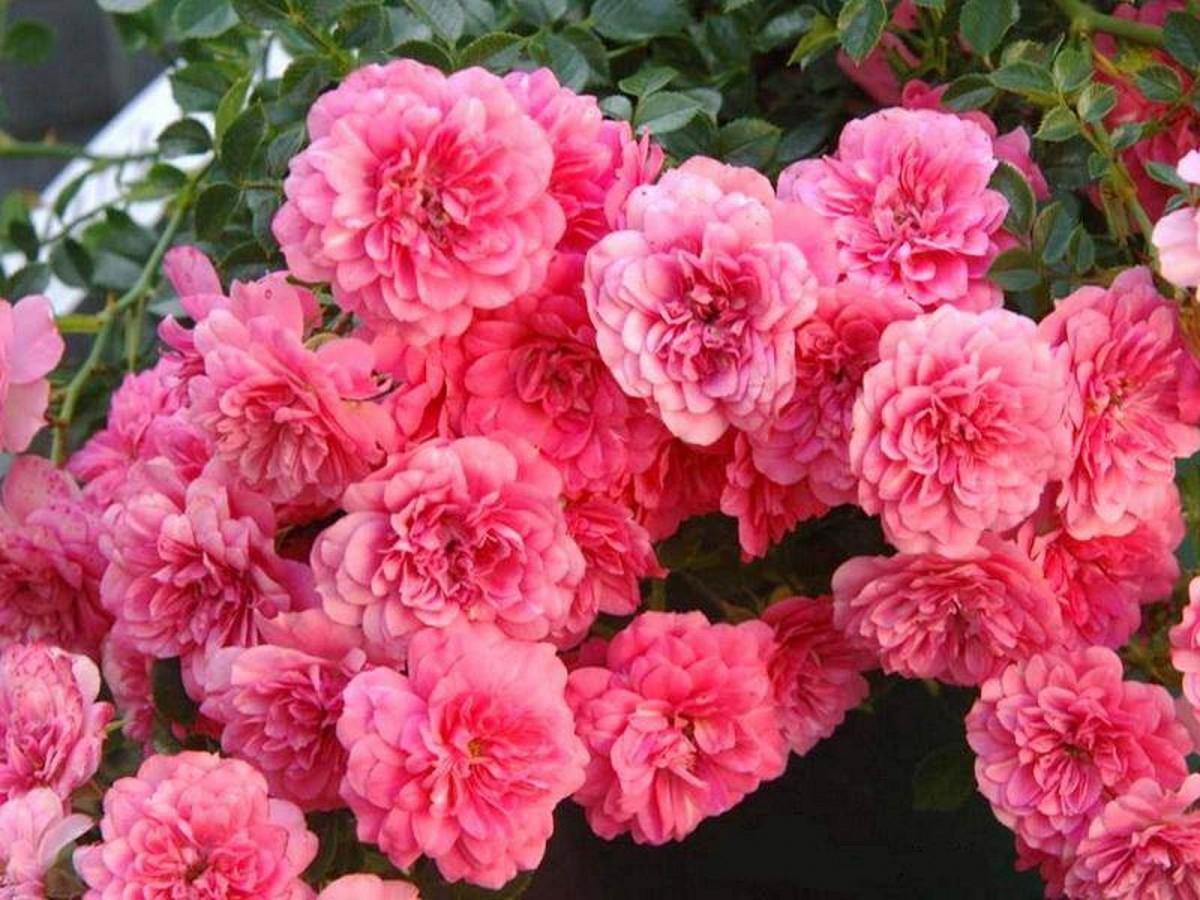 Розы почвопокровные Книрпс ( Knirps )