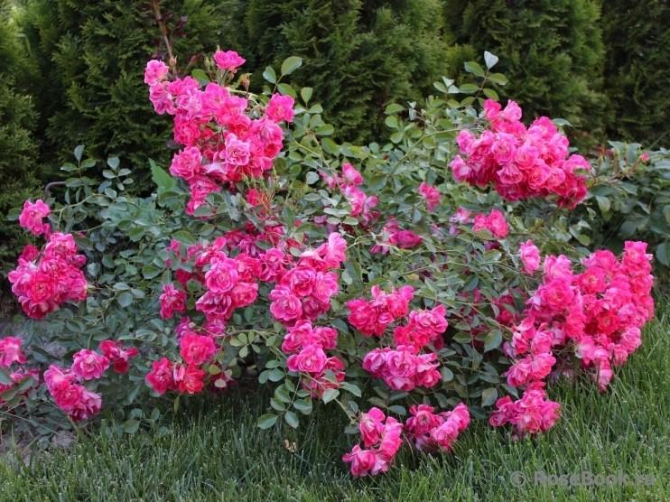 Розы почвопокровные Фуксия ( Fuchsia Meillandecor )