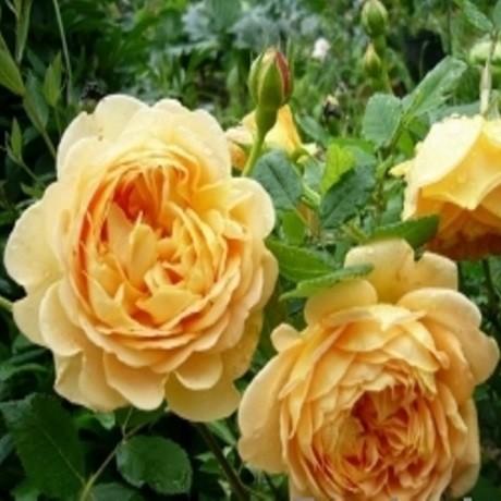 Розы Голден Селебрейшен