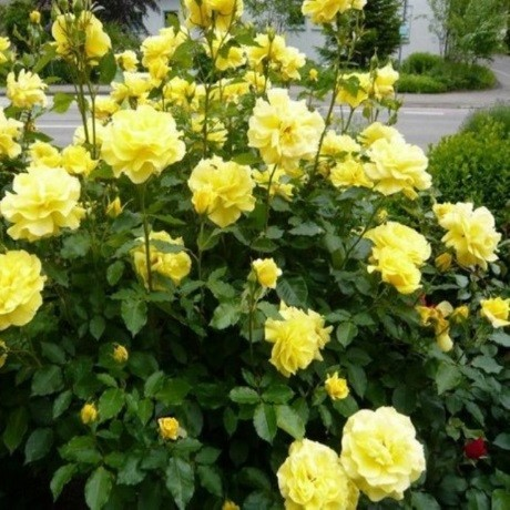 Розы Джина