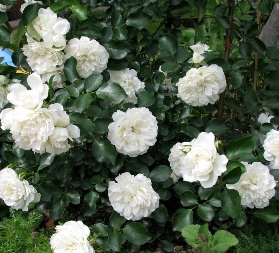Бланка ( White Meidiland (Blanc Meillandecor, MEIcoublan, Super Swany, White Meilland))