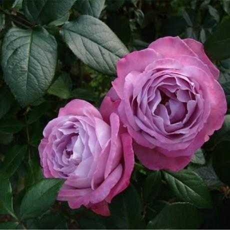 Розы Клод Брассер (Claude Brasseur)