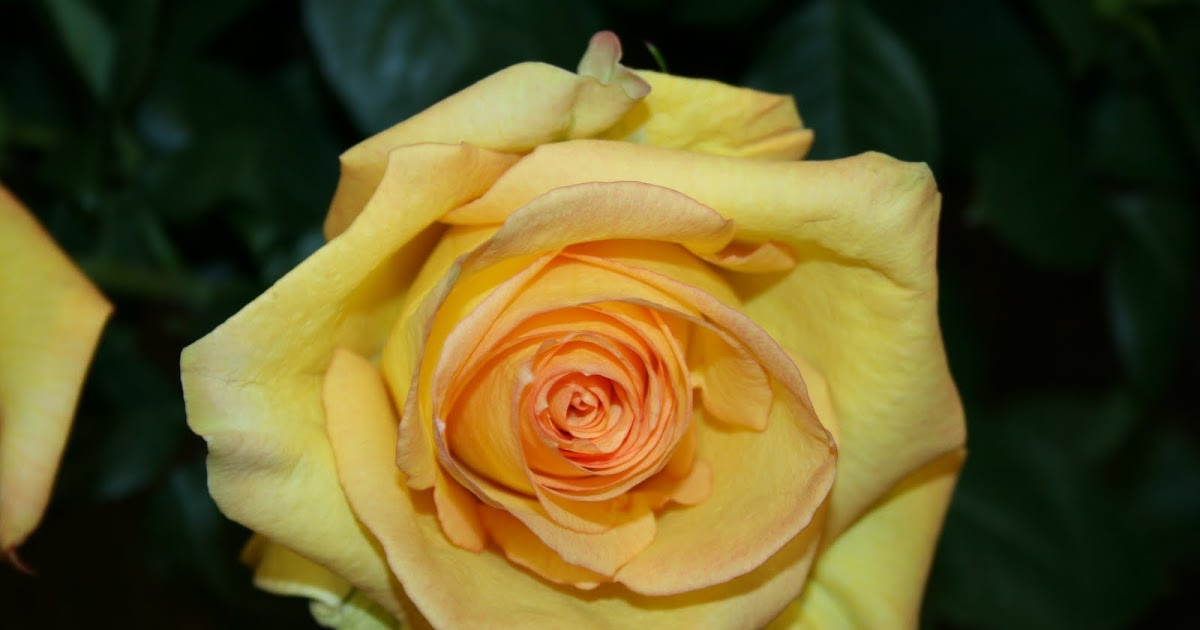 Розы чайно-гибридные Дежавю