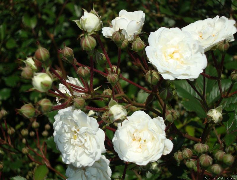 яхты это роза бланк мейяндекор фото описание роза осирия подлинное