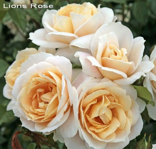 Лионс Роуз ( Lions Rose )