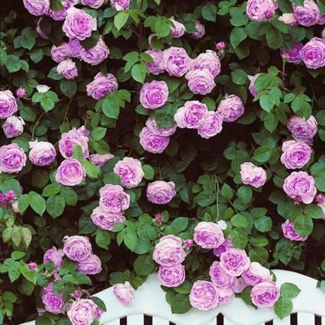 Розы Индиголетта